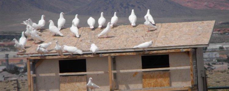 pigeons_750