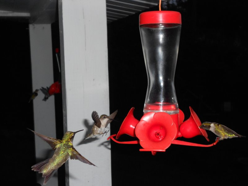 hummingBirds_800